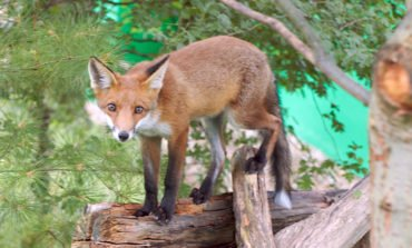 Police investigating fox slaughter, Animal Party says (Updated)