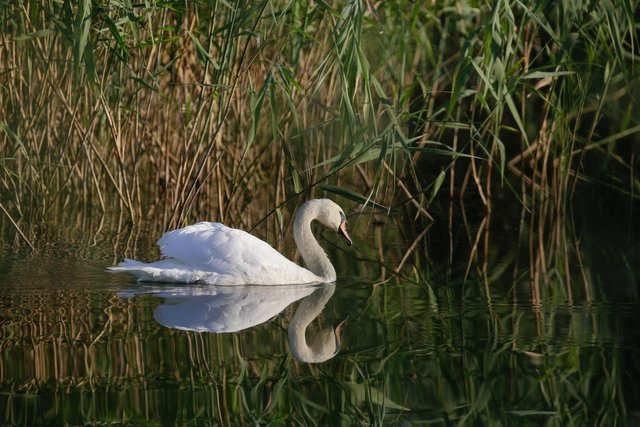 A swan swims on one of the lakes inside Vacaresti wetlands
