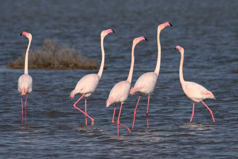 Flamingoes at Akrotiri salt lake (Stavros Christodoulides)
