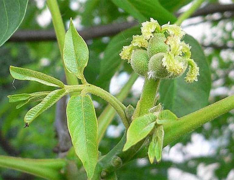 Plant of the week: Symbol of longevity, walnut has range of uses