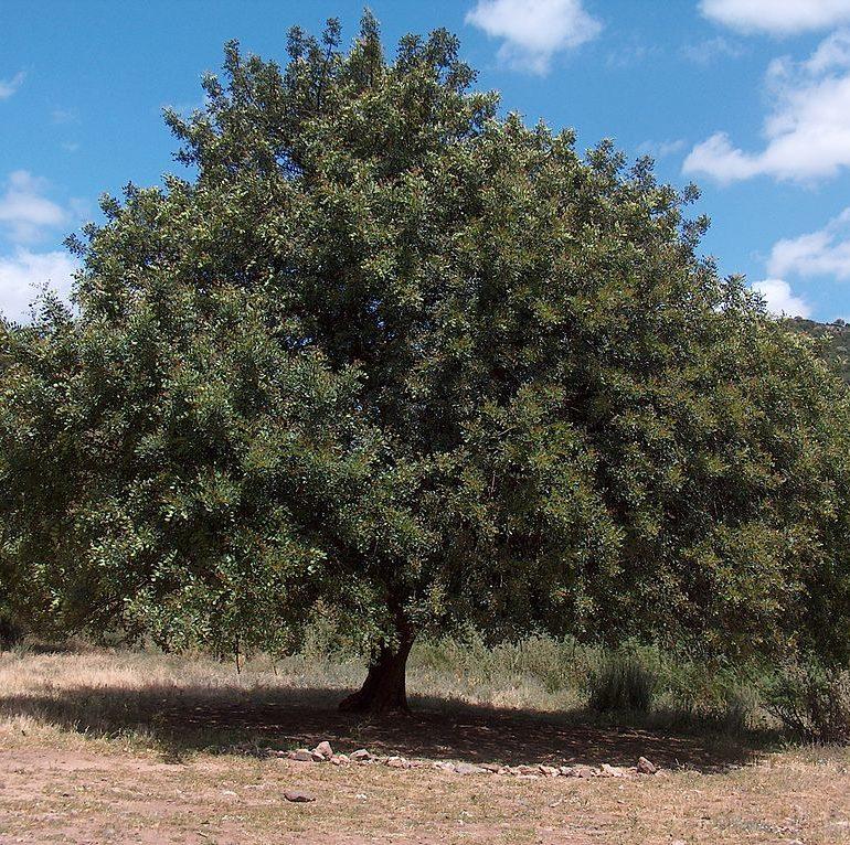 New plantation to produce range of carob products