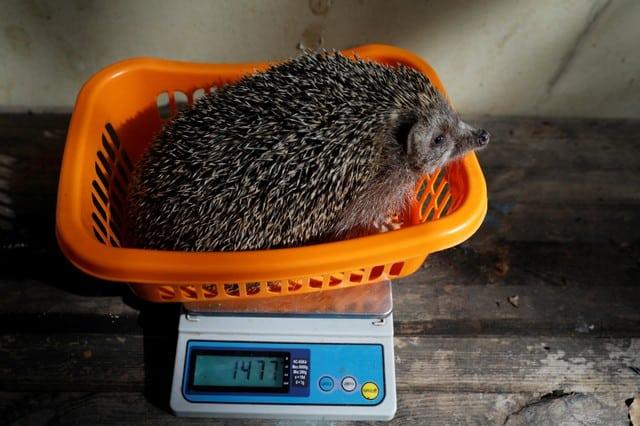 Israel's overweight hedgehogs go on diet