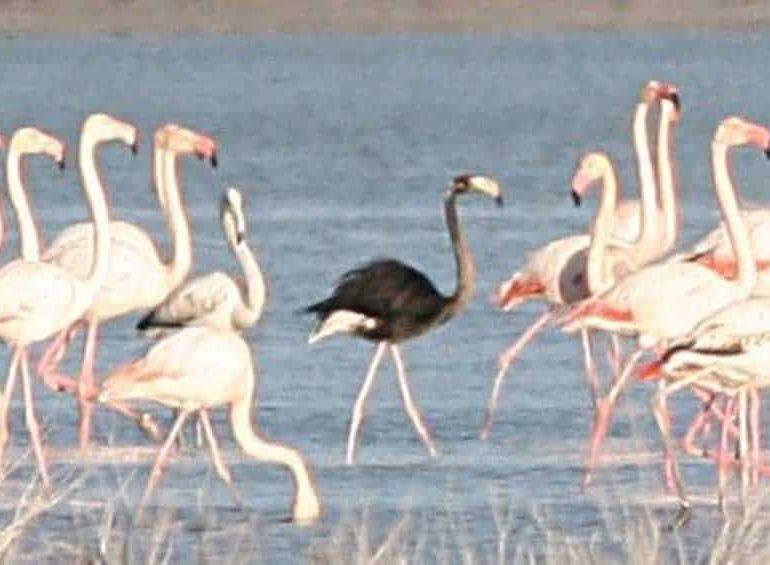 Rare black flamingo returns to base