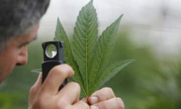 Medical marijuana: more trouble than it's worth?