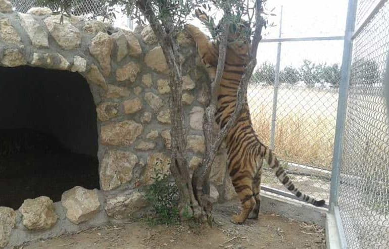 Pressure mounts on 'zoo' as minister confirms tiger death