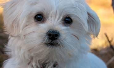 Unleashed pit bulls kill Maltese dog