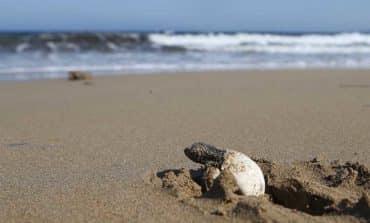 From shell to sea: baby turtles navigate Lara beach