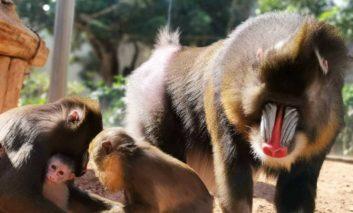 Rare baby mandrill monkey born at Paphos Zoo
