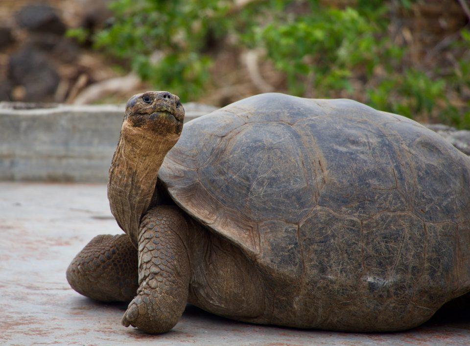 Galapagos tortoise - up to 1 year