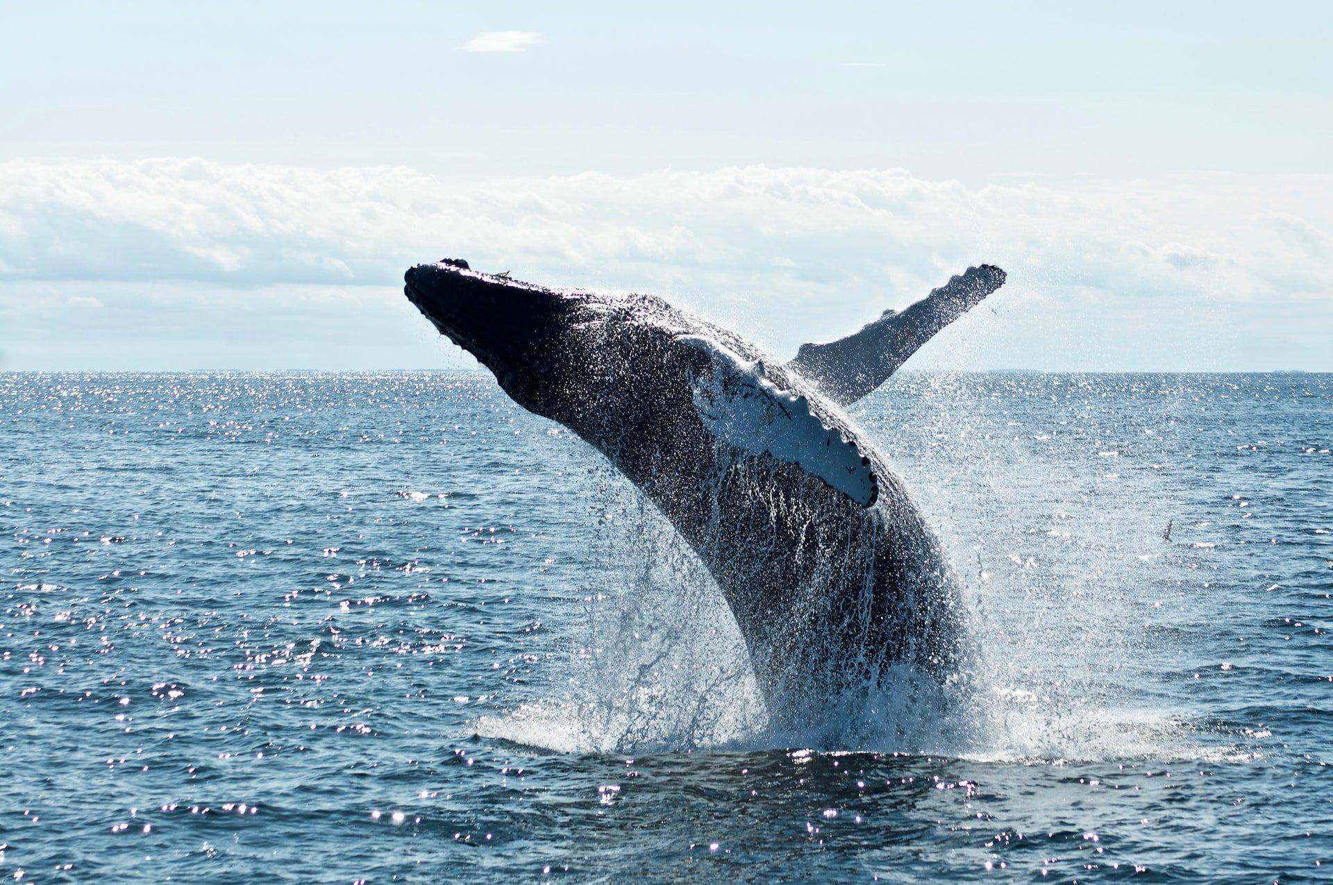 Φάλαινα Humpback - έως και 6 μήνες
