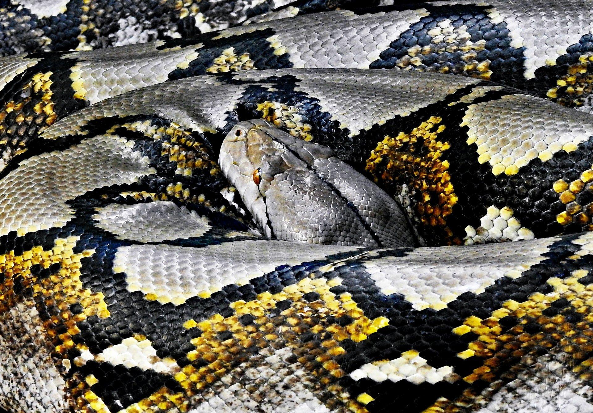 Ball python - έως 6 μήνες
