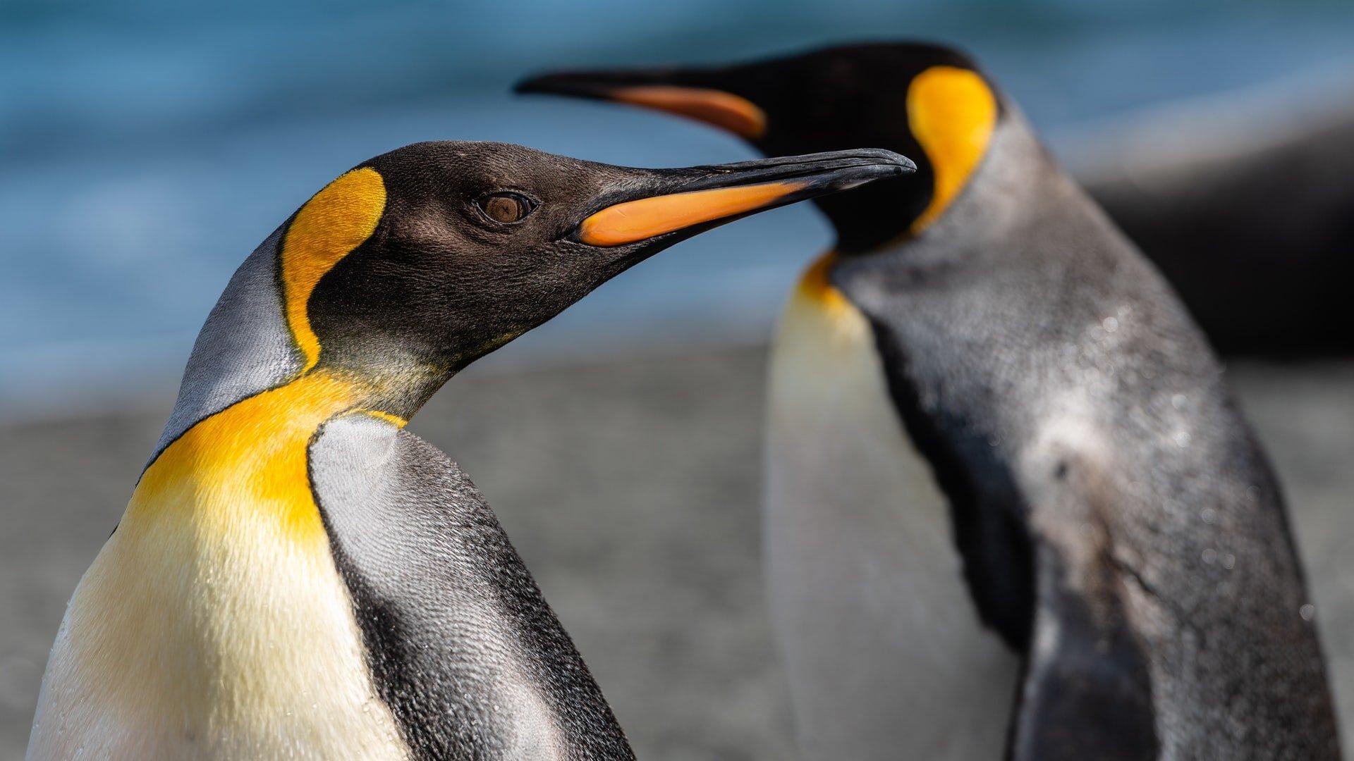 Αυτοκράτορας πιγκουίνος - έως 4 μήνες