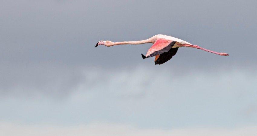 Greater Flamingo A. Stoecker (7) 450 850 Crp From Birdlife Cyprus Website