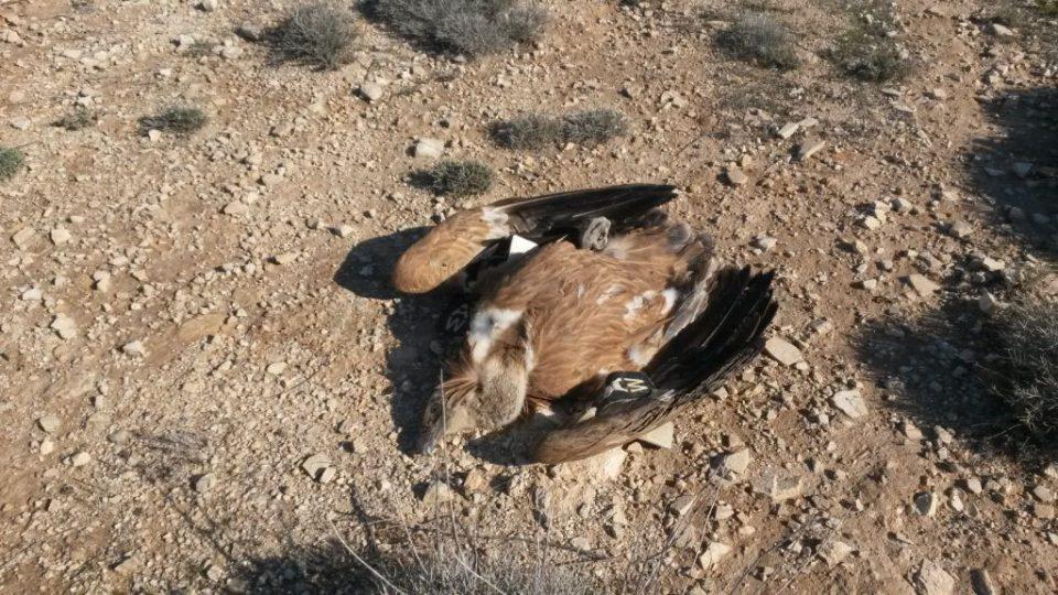 Dead Gyps Fulvus Photo By N