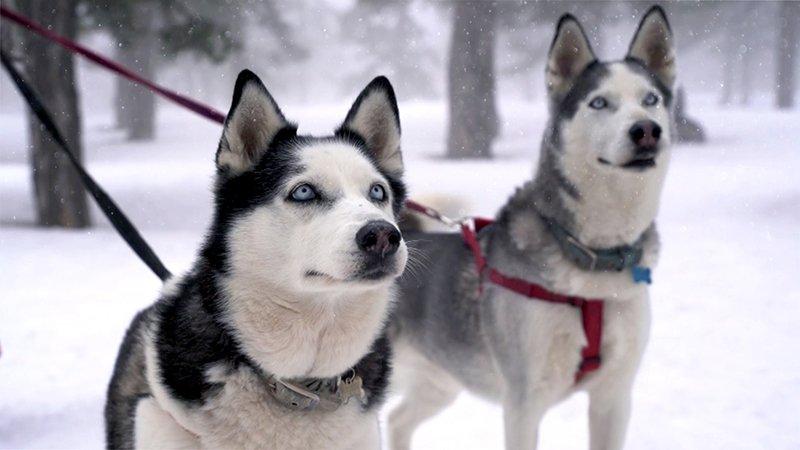 Οι Huskies προσφέρουν σούρουπο μέσω του Τροόδους