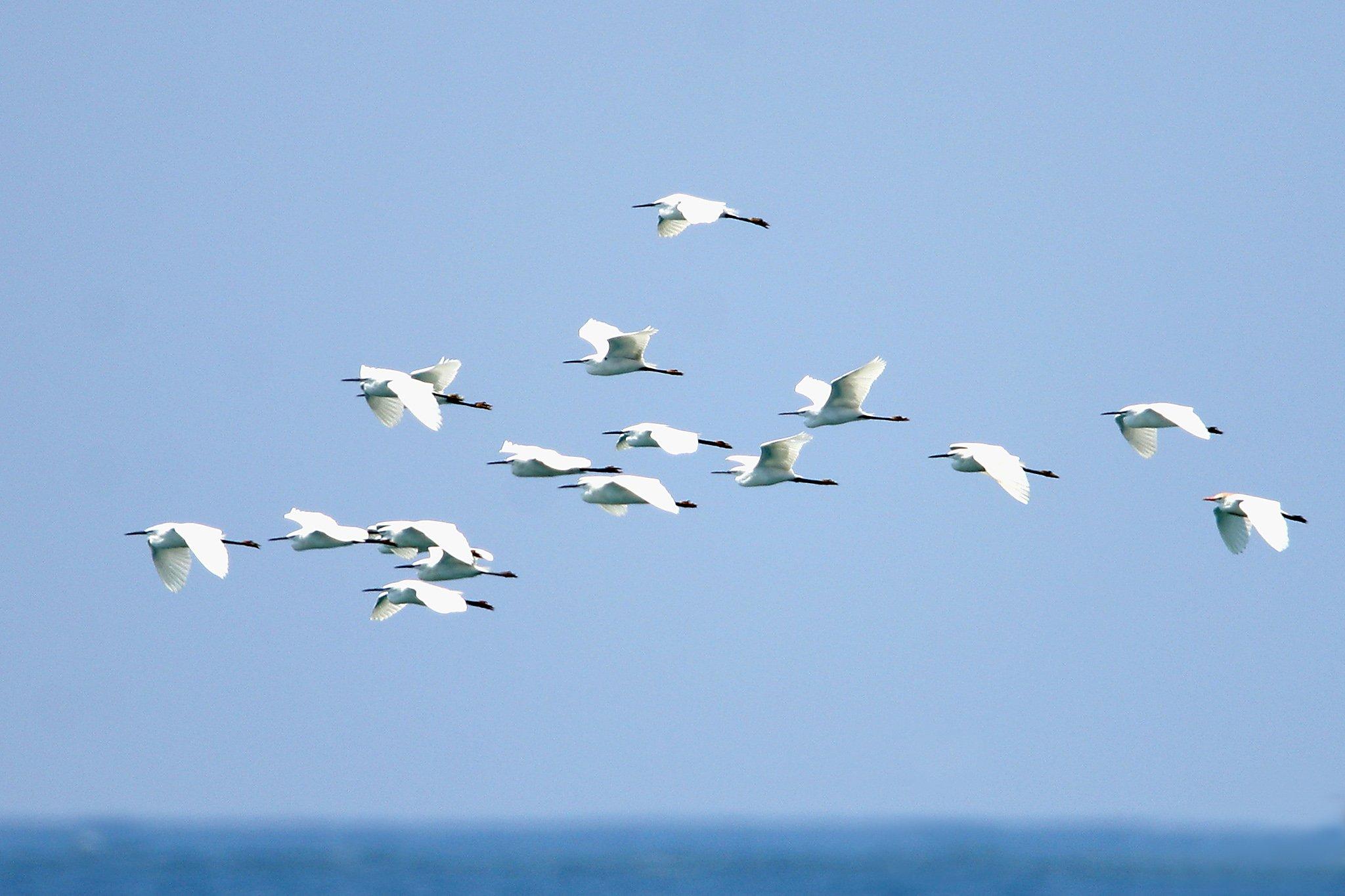little egret 2 (d