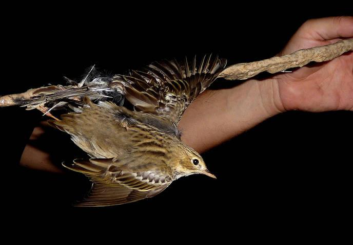 a bird stuck on a limestick