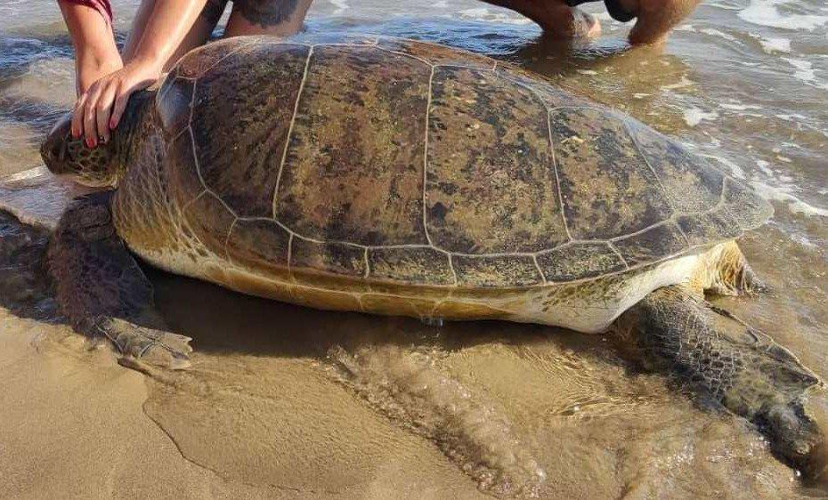 ioli the turtle