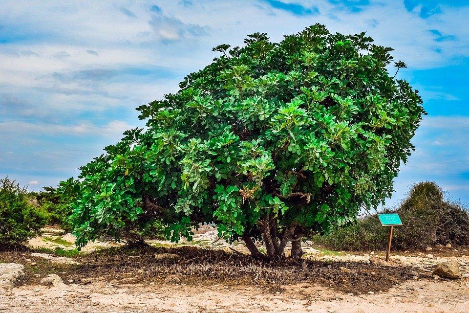 carob tree 5801406 960 720