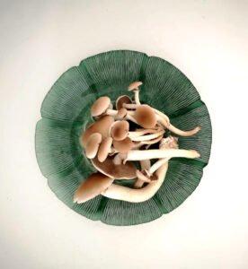 feature antigone pioppino mushrooms (cyclocybe aegerita, aka black poplar mushrooms)