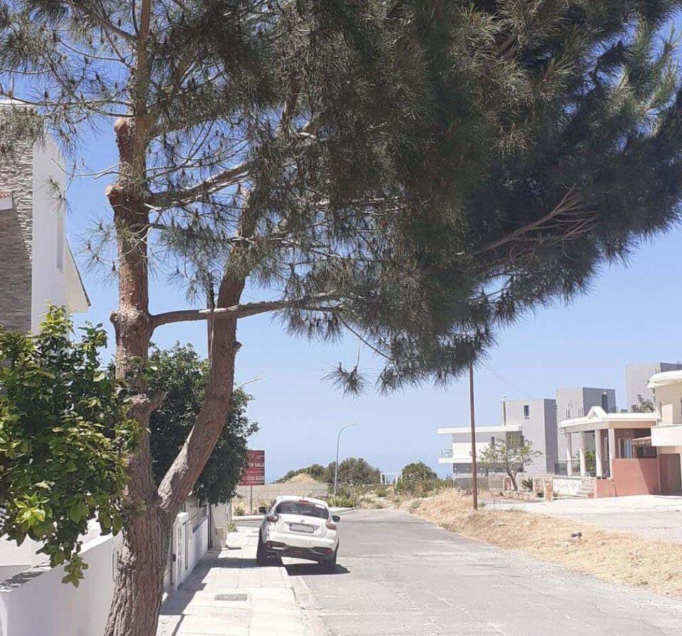konia pine tree