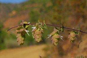 origanum cordifolium csc 3121