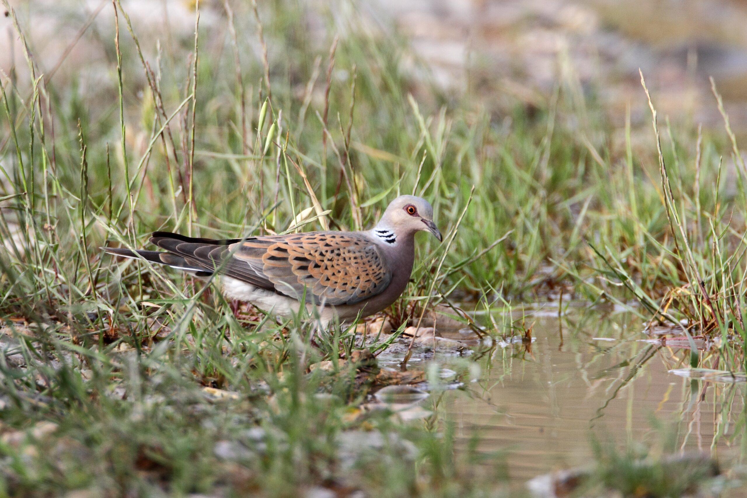 turtle dove ©david nye
