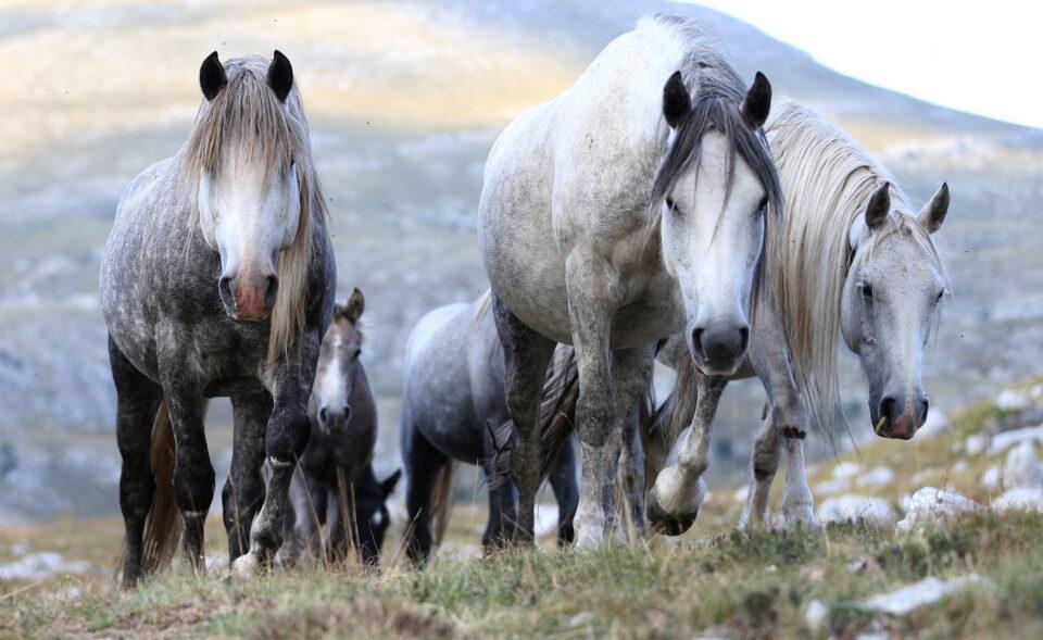 wild horses graze the grass on cincar mountain near livno