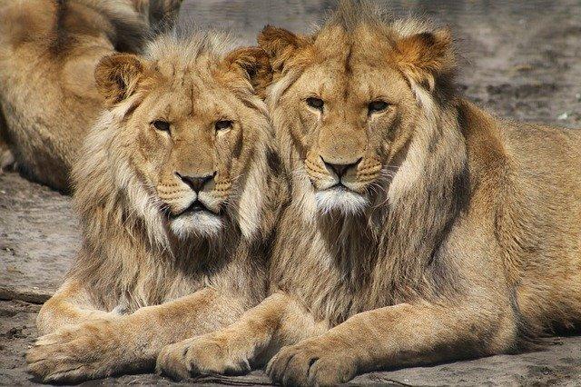 lions 1660044 640